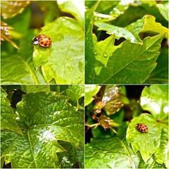 Coccinelles sur la vigne (keltia17) Tags: naturaleza verde green hoja nature leaf vine ladybug vigne feuille coccinelle mariquita