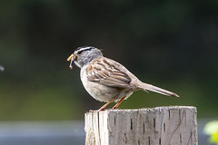 White-Crowned Sparrow (voteforbear) Tags: whitecrownedsparrow 300mmf4 backyardbirds nikond4