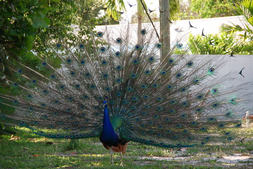 Peacock Full Fan 2