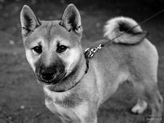 (David**T) Tags: dog chien france film analog lyon little shiba petit argentique inu