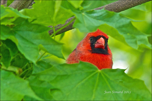 Camouflaged Northern Cardinal