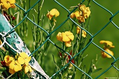 Fence Friday - 510/731 (Vlachbild) Tags: flowers oneaday animal fence spider daily photoaday environment pictureaday architecturalfeatures insectsarachnids borderfx sonystf135mmf28t45 project731 sonyslta65 2013inphotos project73124may2013 project731510