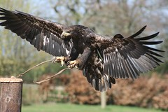 The Eagle has landed Mark Stokes photography (Mark Stokes photography) Tags: pictures light shadow nature birds canon woodland natural flight unusual magical eagles birdsofpray markstokesphotography