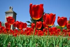 Tulips outside Washington DC (.Eromi) Tags: flowers red nature washingtondc spring nikon tulips simplyflowers flickrchallengegroup flickrchallengewinner dailynaturetnc13