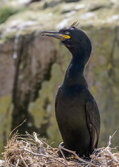 Shag (Tickspics) Tags: uk northumberland shag farneislands phalacrocoraxaristotelis