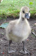Greylag Gosling (paulfarrington46) Tags: york wildlife yorkshire goose gosling greylag