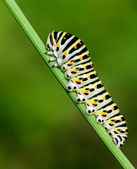 Papilio machaon (Charaxes14) Tags: butterfly caterpillar bulgaria papilio papilionidae machaon kozhuh