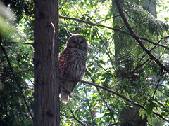 Barred Owl (mikeobc) Tags: bird forrest owl barred vicoria