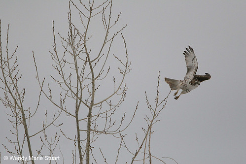 Photo - A red-tailed hawk takes off from bare winter tree branches at Sawhill Ponds.