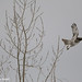 A red-tailed hawk takes off from bare winter tree branches at Sawhill Ponds.