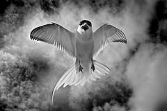 Arctic tern (Ronan.McLaughlin) Tags: ocean blue ireland sea irish white bird beach nature water birds coast nikon marine wildlife atlantic shore maritime peninsula donegal malin malinhead inishowen d90 irishwildlife ronanmclaughlin