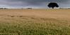 Turning (Mark Twells) Tags: england field unitedkingdom wheat crop arable annscroft thattree