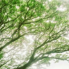 Translucent Tree (richardhwc) Tags: tree 120 6x6 film rolleiflex mediumformat kodak srilanka ceylon 35e planar peradeniya carlzeiss portra400 75mmf35 coatingdegraded