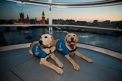 Guide dog puppies, Guide Dogs Week 2013 - EDF Energy London Eye (Guide Dogs UK) Tags: day2 london eye dogs four tour legs guide gdw gdw2013day1