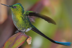 Colibr XXIII (Jos M. Arboleda) Tags: bird canon eos colombia hummingbird jose ave 5d colibr arboleda markiii trochilidae coconuco apodiforme josmarboledac blinkagain ef400mmf56lusm14x troquilinos