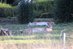 Cheetah - (Pix.by.PegiSue>Thx over 4M+ views! Click on Albums) Tags: california africa park wild cats nature animal animals cat canon zoo cub feline chat flickr sandiego african wildlife safari bigcat gato wap felinos cheetah cubs endangered wildcat wildanimalpark sandiegozoo animalplanet cutecat exoticcats bigcats cheetahs chatte escondido nationalgeographic nonprofit flin babyanimals sdzoo duma guepardo gupard exoticanimals  exoticfelines animalesexticos flickrbigcats flickrbigcat sandiegozoosafaripark sdzsafaripark californiababyanimals pixbypegisue zooglobal losgrandesfelinos wwwflickrcomphotospixbypegisue desanimauxexotiques felinosexticos flinsexotiques
