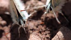 Common Blue Butterflies (monchoparis) Tags: españa macro canon butterfly insect eos spain papillon mariposa espagne pyrenees insecte pirineos commonblue insecto polyommatusicarus 500d kenko canon60mm argusbleu azurédelabugrane azurécommun