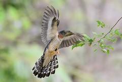 Red-chested Cuckoo (Cuculus solitarius) (Ian N. White) Tags: explore botswana redchestedcuckoo cuculussolitarius notwane