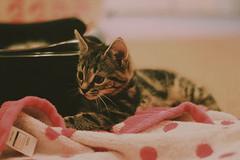 Hello there Kitty. (oliviamccaffrey) Tags: baby detail cute animals cat 50mm kitten dof sweet hellokitty tabby grain adorable kitty sharp whiskers grainy tabbycat tabbykitten