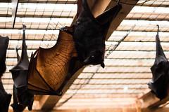 Flying Fox Bat (Alisha Van Scyoc) Tags: columbuszoo flyingfox