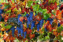 Autumn in the Vineyards (Darvin Atkeson) Tags: california autumn foothills color fall creek butterfly gold vineyard vines wine nevada country sierra winery yosemite grapes merlot mariposa icewine darvin atkeson darv liquidmoonlightcom lynneal