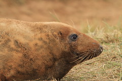 The head and shoulders shot! (Lynda Smith) Tags: nature wildlife lincolnshire seal colony donnanook northsomercotes lincolnshirewildlifetrust