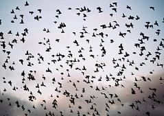 Starling Murmuration (lomokev) Tags: sea sky nature clouds brighton unitedkingdom samsung starling starlings brids murmuration thecityofbrightonandhove galaxynx samsunggalaxynx file:name=131209galaxynx000313