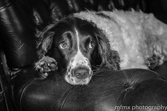 Cant Be Bothered (Mafld-Mx1) Tags: dog pet cute leather animal sad walk sofa tired rest spaniel springer