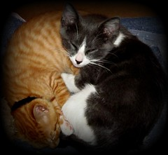 Ying & Yang (Samuelsdad2009) Tags: sleeping cats ginger kittens relaxed odc greywhite