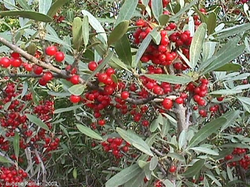 Photo - Silver buffaloberry in fruit.