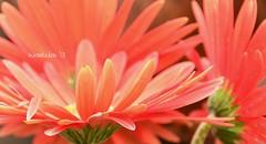 (WendieLarson) Tags: california pink orange flower color nature fleurs landscape petals nikon gerbera daisy gerberadaisy pottingtable wickedhair d7000 wendielou