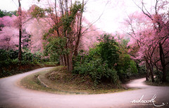 popular spot (mdoooth) Tags: wild tree way cherry thailand bend blossom chiangmai horseshoe himalayan khunchangkian