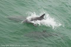 Dauphins (comiquaze) Tags: usa florida dolphin manatees dolphins sanibel captiva floride dauphins lamantin