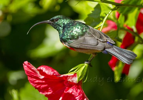 Greater Double-collared Sunbird_0656