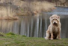 Posing dog :) (joeke pieters) Tags: dog holland netherlands reflections nederland hond achterhoek winterswijk borkensebaan mygearandme mygearandmepremium mygearandmebronze mygearandmesilver mygearandmegold nonnenven panasonicdmcfz150 1130697