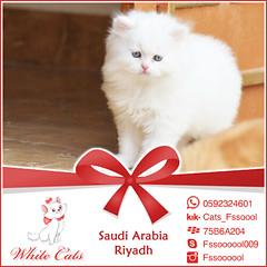 """من أعمالي : دعاية """"White Cats"""" (Falek6yeb) Tags: life cats cat ads fun ad saudi riyadh ksa بس السعودية الرياض قطه قطط قطة حياة قطوه طيب بيع فالك بسه فالكطيب"""