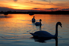 Swanset (music_man800) Tags: uk blue friends sunset orange cloud sun cold love silhouette set night clouds swim canon river evening march spring swan pub day contrail afternoon dusk united kingdom grace hour late chilly contrails graceful essex crouch hullbridge 700d swanset