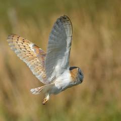 Hunter (charlottz - Charlotte G Photography) Tags: wild bird feet wings day batch flight 2nd thai owl may13 essex span claws frombehindunderfeathersnikond5100150500mmpicmonkeyappeditoripad