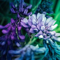 (Mikael Jeney) Tags: lila