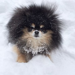 Snow face (Andrea Kang) Tags: bear winter dog snow cute puppy square pom squareformat harlow pomeranian snowbear snowface snowbeard iphoneography instagramapp uploaded:by=instagram