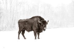 Bison on white (martin.stockhausen) Tags: winter wild white snow cold nature landscape deutschland buffalo seasons events jahreszeit natur bison kiel schleswigholstein wisent 500px