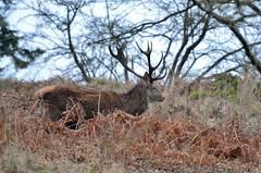 Red Deer (Patrick Cheshire) Tags: reddeer powyscastle