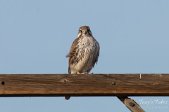 Prairie Falcon on the Colorado plains