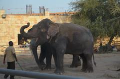 The Asian Elephants greet the crowds (oldandsolo) Tags: elephant fauna zoo uae abudhabi unitedarabemirates asianelephant herbivore elephasmaximus asiaticelephant zoologicalgardens emiratesparkzoo samhaabudhabi
