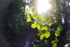 reaching towards the sun (viewsfromthe519) Tags: ireland light dublin sun sunlight plant nature leaves forest garden spring weeds bright bokeh flare brambles grn ardgillan balbriggan