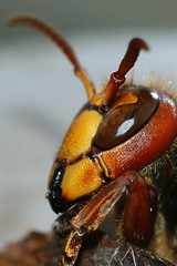 Vespa cabro (henk.wallays) Tags: macro nature closeup insect vespa wasp wildlife natuur wasps insekt arthropoda insecte aaaa hymenoptera wesp insecta vespidae guepe sociaal sociale vespacrabro vespidwasps himenópteros hoornaar vliesvleugelige hautflügler imenotteri hymenoptere hyménoptères hártyásszárnyúak vliesvleugelig steklar henkwallays błonkówki plooivleugelwespen årevingede błonkoskrzydłe kiletiivalised blanokrídlovce opnokrilci zarkanatlılar årevengjer υμενόπτερα жарғаққанаттылар перапончатакрылыя перепончатокры́лые