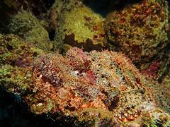 Camouflaged / Getarnt (sebastian.brohl) Tags: red sea fish canon meer underwater egypt diving fisch reef ägypten riff tauchen rotes unterwasser g16 fantasea