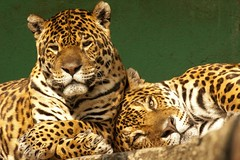 Animals #001 Jaguars (LukSetteDue) Tags: zoo felino jaguar pistoia giaguaro