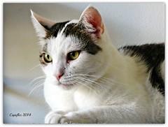 Jasmijn (Cajaflez) Tags: portrait pet cute cat kat chat katze portret gatto huisdier haustier lief jasmijn ruby10 ruby5 ruby20