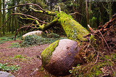 Fallen tree (paulo_1970) Tags: tree canon sintra fallen 7d rvore 1022mm peninha f3545 canon1022mmf3545 canon7d paulo1970